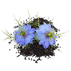 seme črne kumine